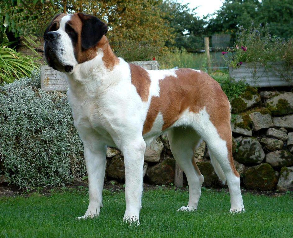 Short Hair Saint Bernard   Dog Breeds Picture